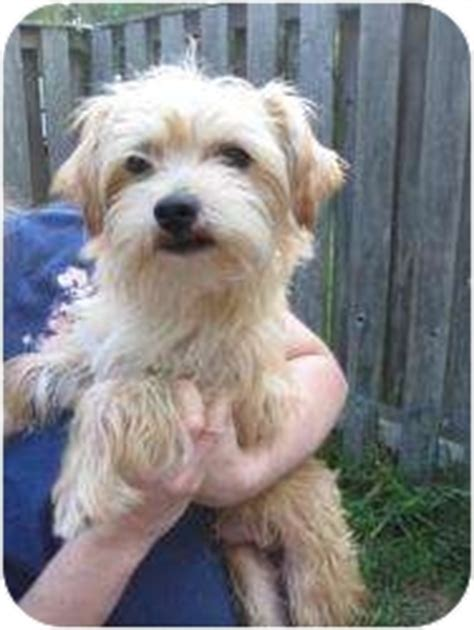 wheaten terrier shih tzu mix shih tzu wheaten terrier mix for adoption in new