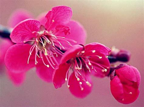 immagini fiori di ciliegio fiore di ciliegio significato dei fiori