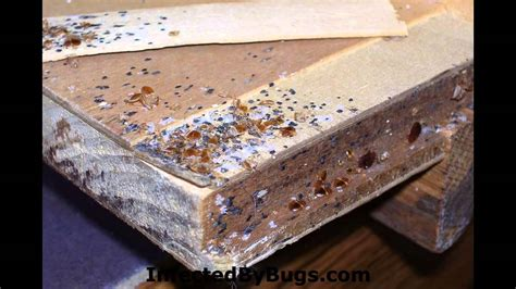 how you get rid of bed bugs cure for bed bugs most bedbug bites are painless at first but later turn into itchy
