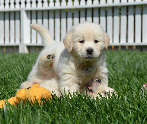golden retriever puppies white white golden retrievers golden retrievers