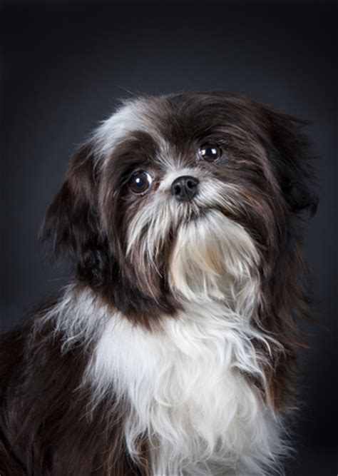 grooming styles for shih tzu shih tzu grooming thinning that coat shihtzu web