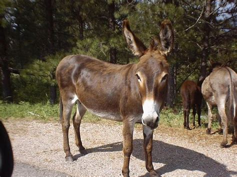 sonora cobra tenencia a los burros - Burro Animal