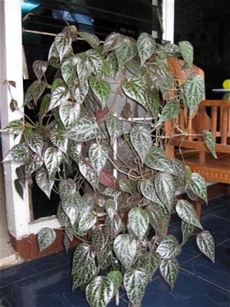Air Hidrosol Daun Sirih Murni 500 Ml toko kebon bojong tanaman apotik hidup cantik dan bermanfaat