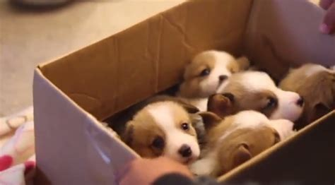 box of puppies a box of corgi puppies