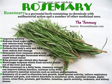 Medicinalcosmetic Uses Of Rosemary by Rosemary Health Benefits Health Herbs Spices