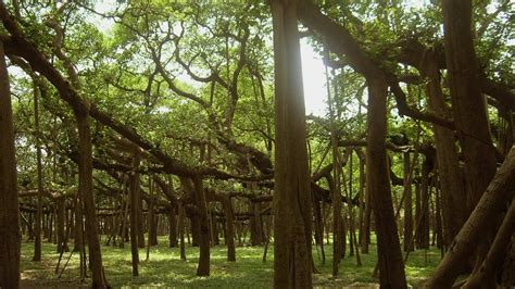 Indian Botanical Garden Ajc Bose Indian Botanical Garden Kolkata Walk Through Great Banyan Tree