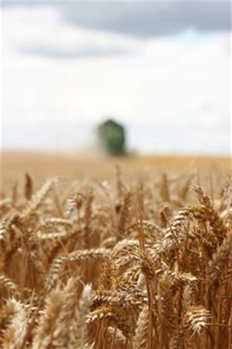 1000 images about wheat farm on wheat fields grains and fields
