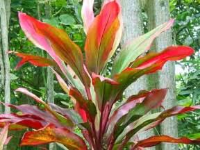 Hawaiian Plants Hawaiian Variegated Ti Plant 2 Quot Pot Grow Hawaii More Info