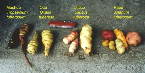 edible tubers list edible tubers and bulbs pictures to pin on pinsdaddy