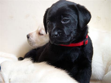 black labs puppies barefoot labradors of killingworth black lab puppies black lab puppy 2