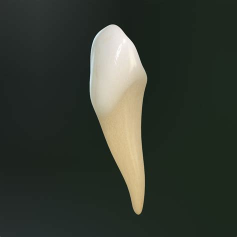 canine teeth 3d tooth lower canine model