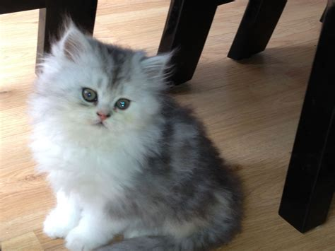 cats for sale silverchincilla kittens for sale northton