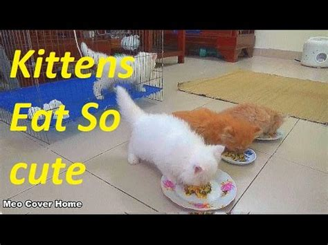 Cat Food Meo Kitten so kittens eat food cat gives birth to kittens