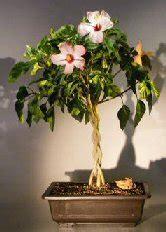 flowering tropical pink hibiscus braided trunk rosa sinensis
