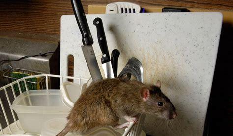 topo in cucina servizio di derattizzazione nelle scuole derattizzazioni biz