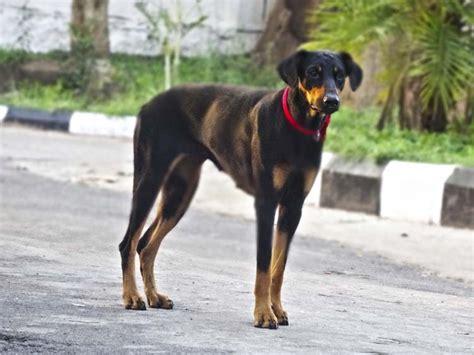 wobblers in dogs overview of wobbler animal behavior college