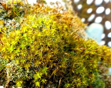how many types of mosses are there how many species of bryophytes are there in britain dr m goes