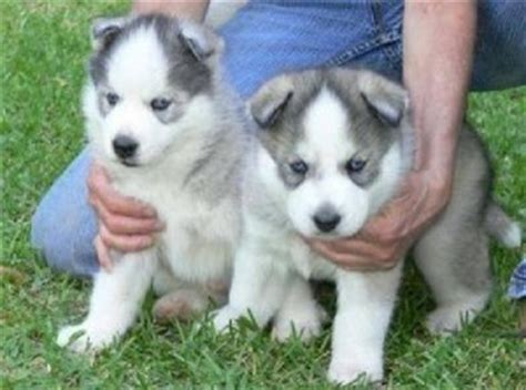 free puppies in nh dogs new hshire free classified ads