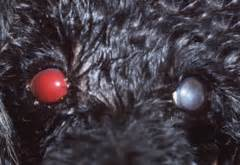 hyphema in dogs ophtho clinical slides flashcards quizlet