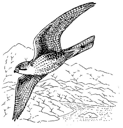 peregrine falcon coloring sheets coloring coloring pages