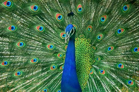 National Bird Of India Outline by Image Gallery National Bird