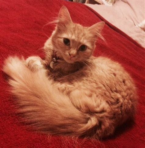 Cat Tanco beautiful longhaired cat bolton