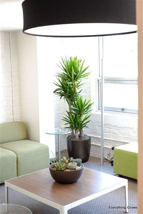 indoor plant design 17 best images about p yucca on pinterest trees