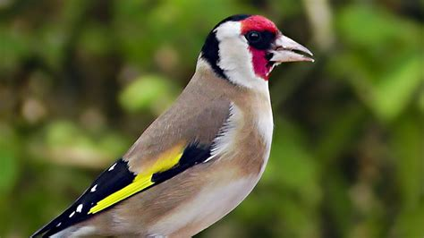 relaxing birds and goldfinch bird song goldfinches si