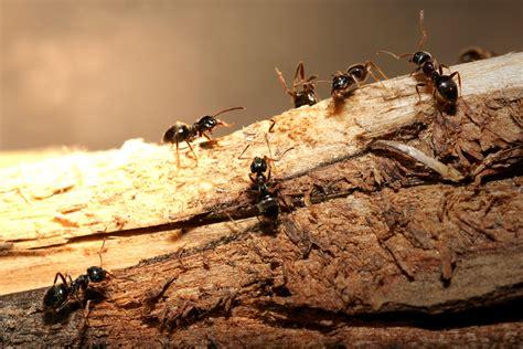 moisture ants clarks advanced pest control