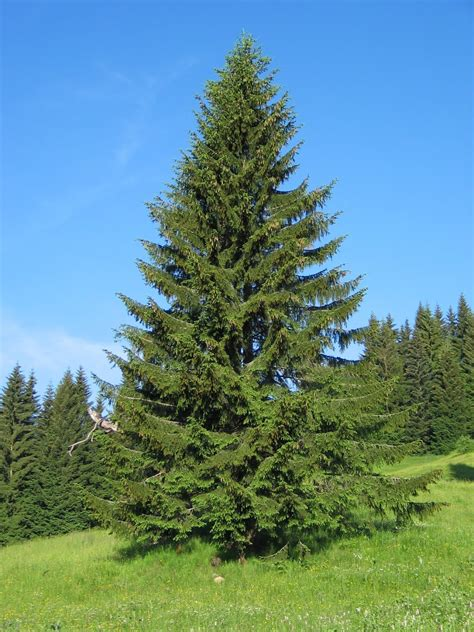 trees planet picea abies norway spruce