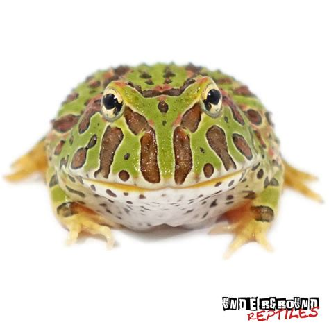ornate pacman frogs for sale underground reptiles