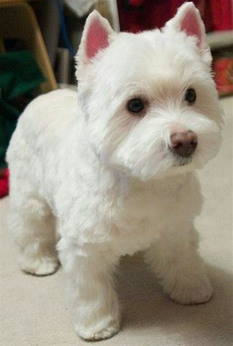how to cut a skye terriers hair 7 best hairstyles for layla images on pinterest westies