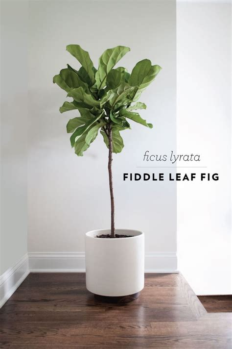 fiddle leaf fig 25 best ideas about living room plants on pinterest
