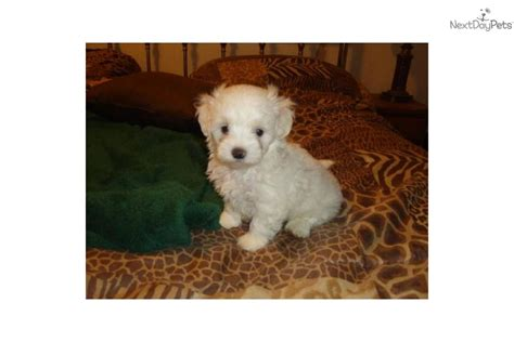 maltipoo puppies for sale in houston maltipoo buffy texaspuppypalcomdog malti poo maltipoo puppy
