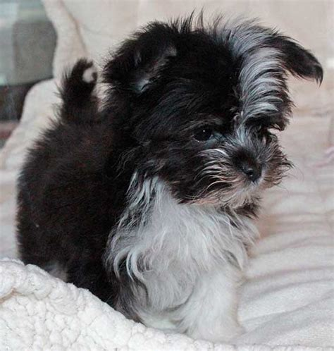 havanese chihuahua mix for sale australian shepherd maltese puppie puppy mix for sale for sale in boca raton south