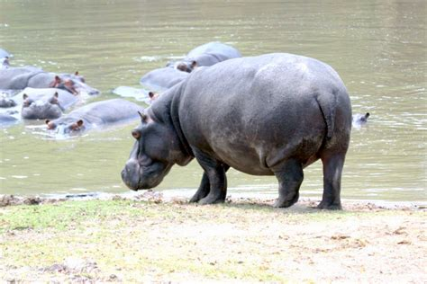 Hippo Nave zambia sambia reise reisen
