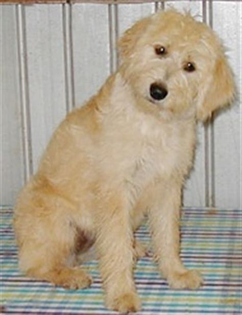 goldendoodle puppy thin coat pin goldendoodle grooming styles image search results on