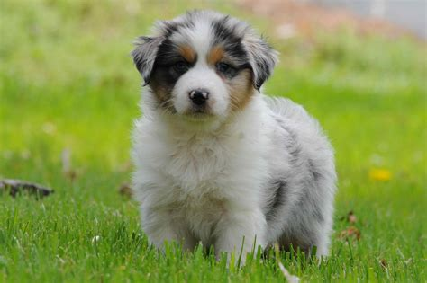 breeders in australian shepherd breeders in the united states theaustralianshepherd net