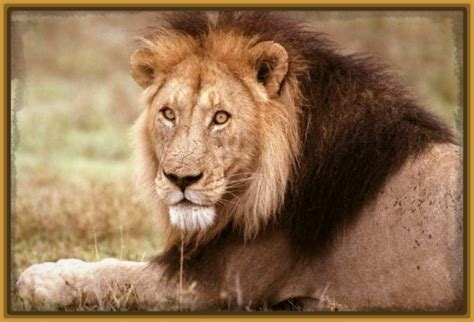 imagenes de leones feroces imagenes de leones africanos feroces imagenes de leones