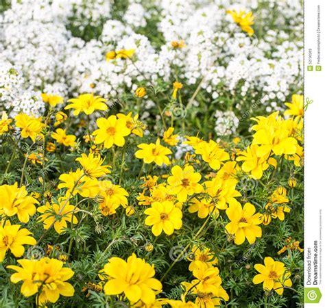 fiori bianchi piccoli fiori gialli e piccoli fiori bianchi nel prato immagine