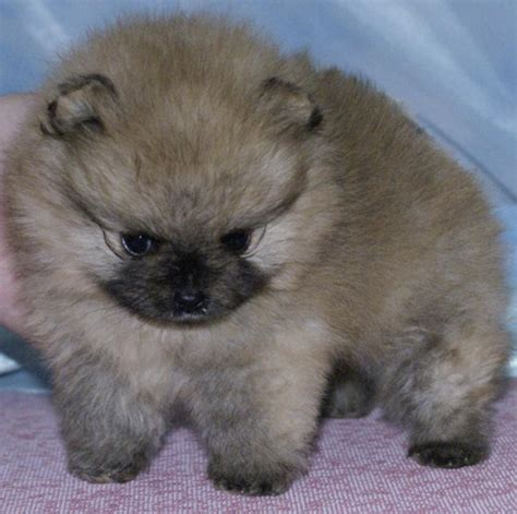 pomeranian puppies cost pomeranian puppies for sale irina 1 395 dogs for sale price of puppies dogspot in
