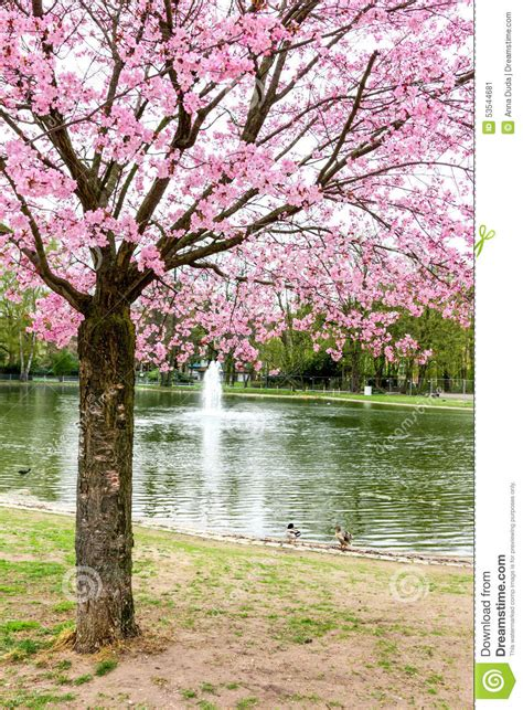 japanese cherry tree with pink flowers stock image image
