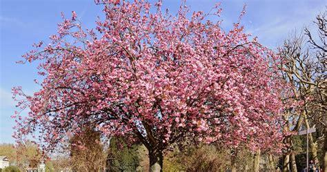 cherry tree growth rate plantwerkz cherry blossom prunus serrulata