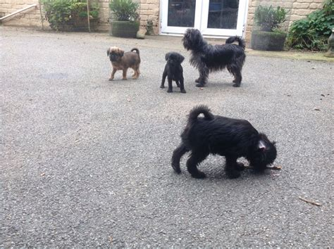 griffon puppies for sale griffon bruxellois puppies for sale milford pembrokeshire pets4homes