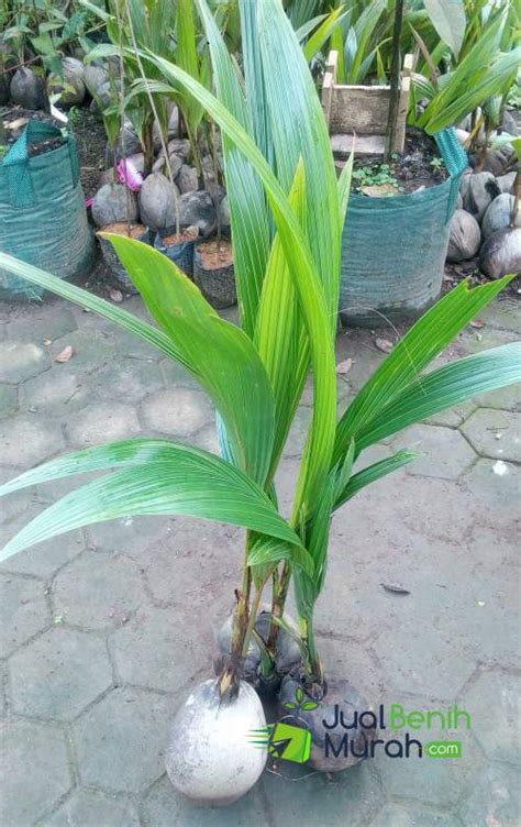 Bibit Kelapa Kopyor bibit kelapa kopyor unggul jualbenihmurah