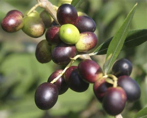 Tanaman Zaitun bibit buah zaitun 50 cm jualbenihmurah
