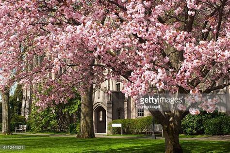u of s cherry trees of washington stock photos and pictures getty images