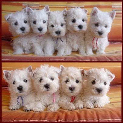 westie puppies best 20 westie puppies ideas on terrier puppies westies and west