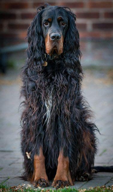 gordon setter dog names 113 best english setter gordon setter irish setter images