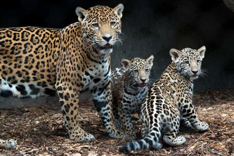 imagenes del jaguar houston zoo showing off adorable jaguar cubs houston